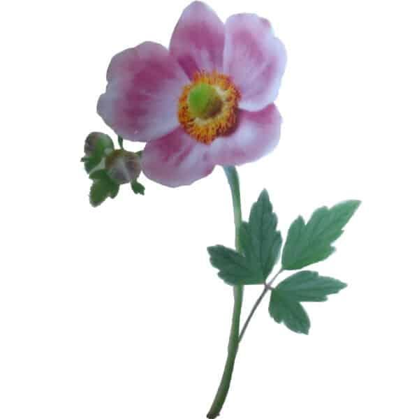 Motiv Herbstanemone Blume