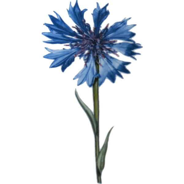 Lila Iris ist eine moderne Gartenblume