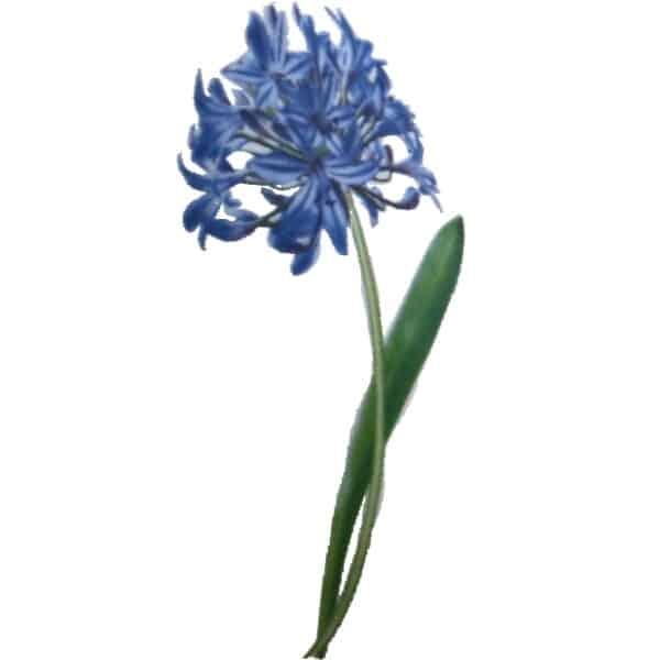 Motiv Schmucklilie Blume