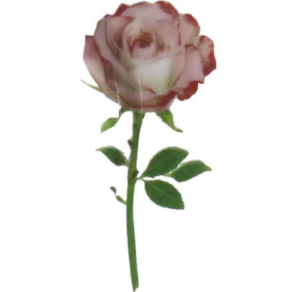 Motiv Teerose rosa Blume