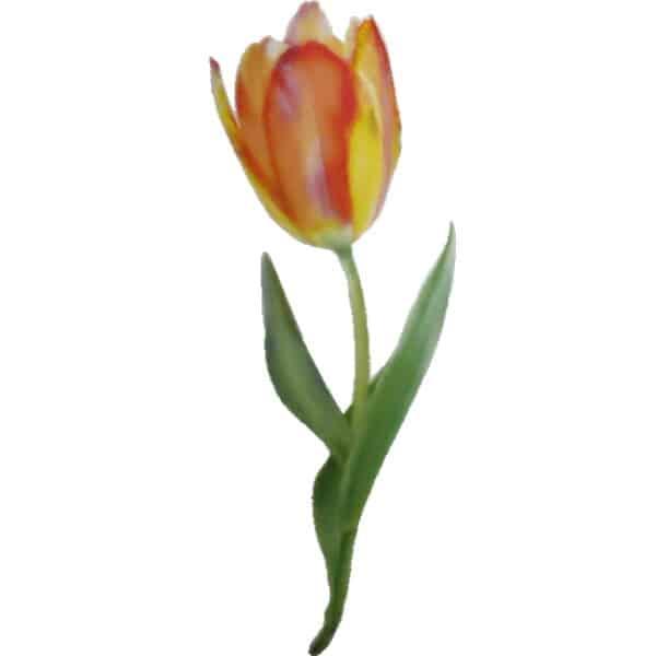 Geflammte Tulpe in rot und gelb