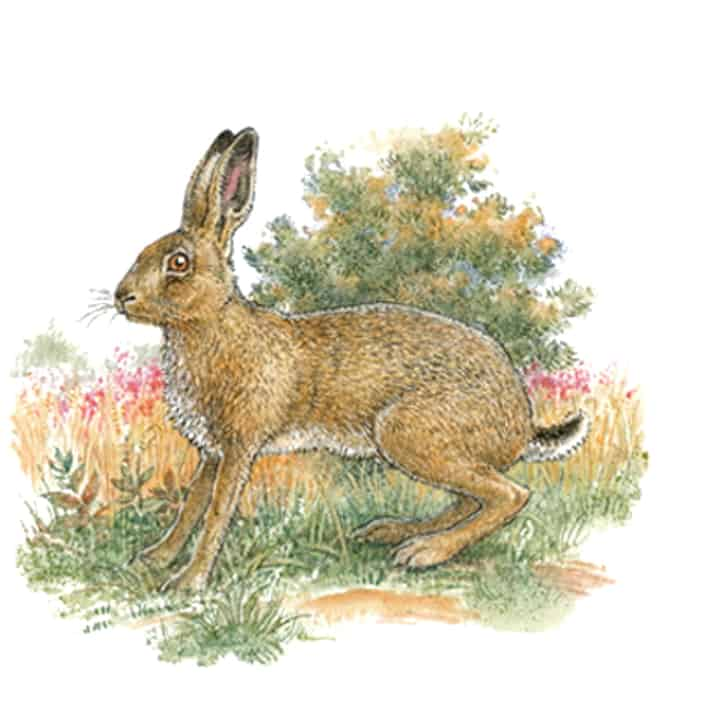 Englische Jagd und Wildekore Feldhase