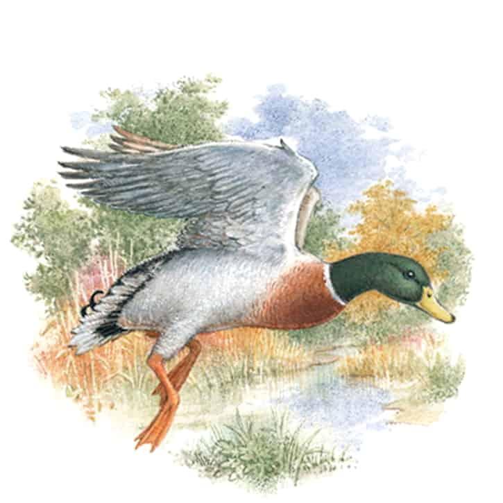Englische Jagd und Wildekore Stockente