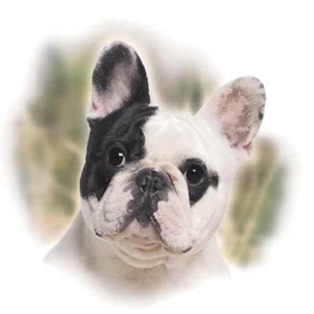 Motiv Hundeportrait französische Bulldogge auf Porzellan