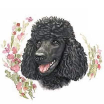 Motiv Hundeportrait schwarzer Königspudeludel